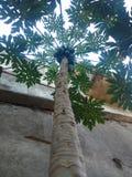 Papaya εγκαταστάσεις Στοκ φωτογραφίες με δικαίωμα ελεύθερης χρήσης