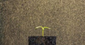 Papaya νεαρών βλαστών Στοκ φωτογραφία με δικαίωμα ελεύθερης χρήσης