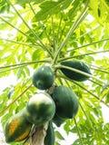 Papaya στο δέντρο στοκ εικόνα