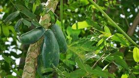 Papaya Papaya στο δέντρο Στοκ Φωτογραφία