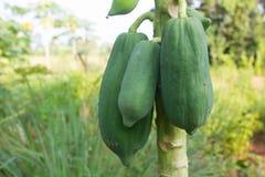 papaya της Κένυας isiolo βόρειο δέντρο Στοκ φωτογραφία με δικαίωμα ελεύθερης χρήσης