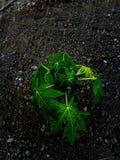 papaya της Κένυας isiolo βόρειο δέντρο Στοκ εικόνες με δικαίωμα ελεύθερης χρήσης