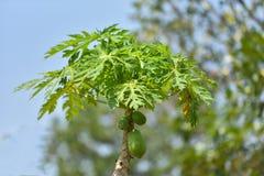 papaya της Κένυας isiolo βόρειο δέντρο Στοκ Φωτογραφίες