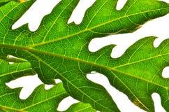 Papaya φύλλο Στοκ εικόνα με δικαίωμα ελεύθερης χρήσης