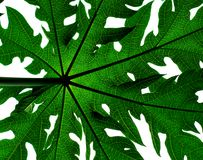 papaya φύλλων δέντρο Στοκ φωτογραφία με δικαίωμα ελεύθερης χρήσης
