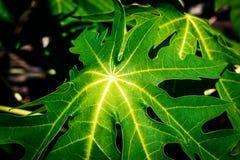 Papaya φύση φυτών κινηματογραφήσεων σε πρώτο πλάνο φύλλων Στοκ εικόνες με δικαίωμα ελεύθερης χρήσης