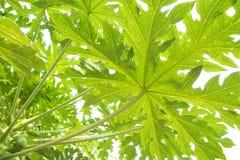 Papaya φύλλα Στοκ φωτογραφία με δικαίωμα ελεύθερης χρήσης