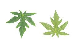 Papaya φύλλο Στοκ εικόνες με δικαίωμα ελεύθερης χρήσης