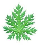 Papaya φύλλο Στοκ Εικόνα