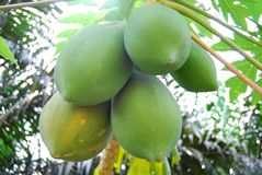 Papaya 1. Originally from southern Mexico, Central America and northern South America, the papaya is now cultivated in most countries with a tropical climate Royalty Free Stock Image