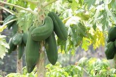 papaya Stockfoto