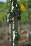 Papaya Fotos de archivo