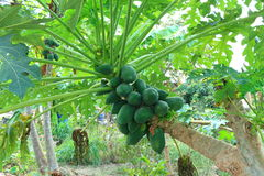 Skew papaya tree Stock Image