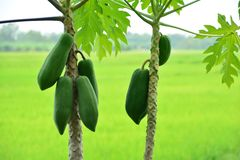 papaya Foto de Stock Royalty Free