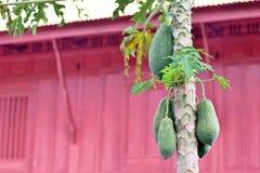 papaya Imagem de Stock