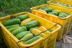 papaya Imagens de Stock