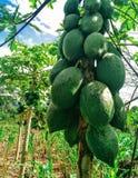 papaya Fotos de Stock