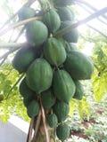 papaya Fotos de Stock Royalty Free