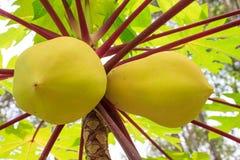 Papaya amarilla del primer que crece en árbol en el jardín Foto de archivo