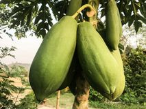 Papaya auf dem Baum stockfotografie