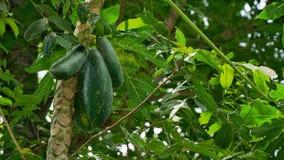 Papaya auf dem Papayabaum stockbild