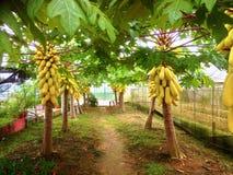 Papaya-Bäume Lizenzfreie Stockfotos