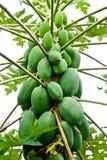 Papaya-Baum Lizenzfreies Stockbild