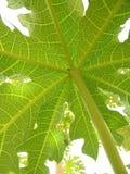 Papaya-Blatt lizenzfreies stockbild