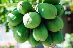 Papaya. A bunch of papaya fruits Stock Photos
