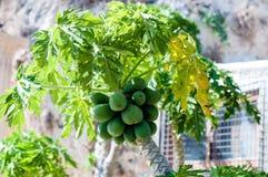 Papaya. A bunch of papaya fruits on a tree Royalty Free Stock Images