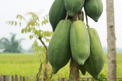 Papaya. Carica papaya Linn in thailand Stock Photography