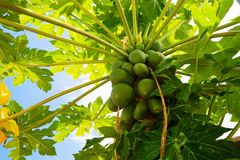 Papaya-Carica papaya Royalty Free Stock Photos