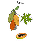 Papaya Carica papaya , or papaw, pawpaw, tropical fruit tree Stock Image