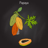 Papaya Carica papaya , or papaw, pawpaw, tropical fruit tree Royalty Free Stock Photo