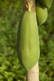 Papaya. Closeup of a green papaya hangs on its tree Stock Photo