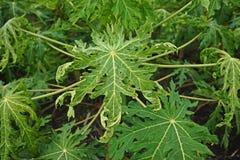 Papaya disease causes by virus stock images