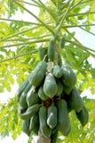 Papaya en Asia del Sur Imágenes de archivo libres de regalías