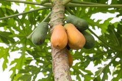 Papaya en la planta Fotos de archivo libres de regalías