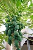 Papaya en la planta el árbol de papaya Imagenes de archivo