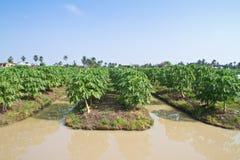 Papaya farm Stock Photos