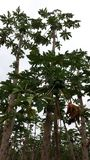 Papaya Farm stock images