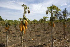 Papaya field in Nicaragua Royalty Free Stock Photo