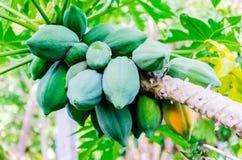 Papaya fresca en árbol con el manojo de frutas y de papaya madura Imagenes de archivo