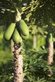 Papaya friut and tree Royalty Free Stock Photography