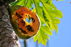 Papaya fruit bitten by animals Royalty Free Stock Photo