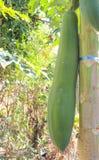 Papaya fruit. Green papaya fruit on the tree Royalty Free Stock Photography