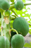 Papaya fruit in a papaya tree Stock Images