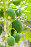 Papaya fruit in a papaya tree Stock Image