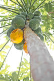Papaya fruit ripening on the tree. Stock Images