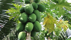 Papaya fruit ripening on the tree. On a sunny summer day, close-up stock video